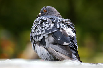 close up of a pigeon in park