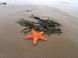 Starfish and seaweed on the beach poster