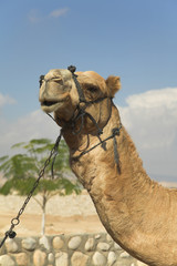 Expressive head of a camel with a bridle