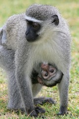 Mother Vervet Mother suckling her cute baby