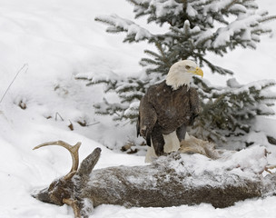Bald eagle has found a kill. Photographed in Northern Minnesota