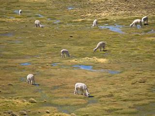 Alpacas pasture on the Andes grassland in Peru