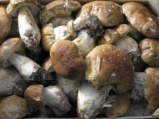 Funghi silani