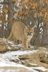 Cougar prowling in light snowfall