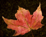 fall leaf starting to sink poster