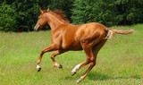 don golden sheen stallion poster
