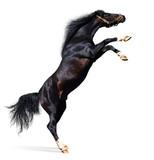 arabian black stallion poster