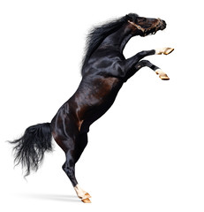arabian black stallion