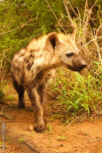 Papiers peints Hyène Hyena Youngster (Crocuta crocuta) Portrait