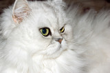 A white persian cat close-up. poster