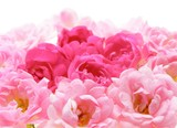 Close-up of pink rose flowers against white background