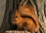 nice red squirrel on the tree stub poster