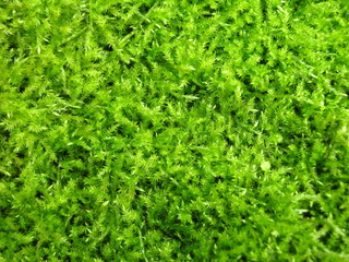 green irish moss