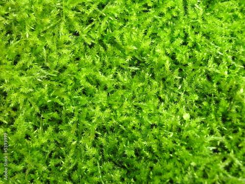 green irish moss