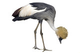 Gray Crowned or Crested Crane scratching poster