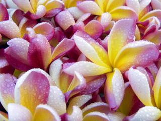 rosée sur fleurs frangipanier