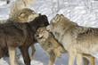 Fototapeta Natura - śnieg - Dziki Ssak