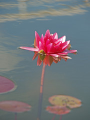 Nymphaea (red water lily) two, close-up