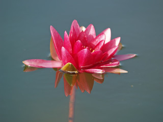 Nymphaea (red water lily) three, close-up