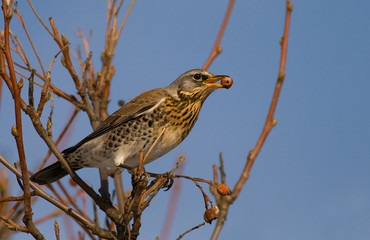 hungry fieldfare (aka turdus pilaris)