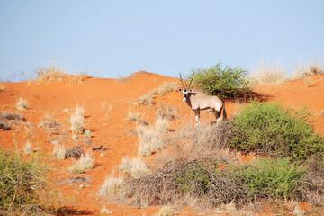 oryx du kalahari
