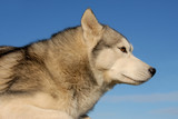portrait of a beautiful purebred siberian husky poster