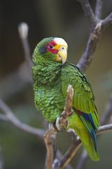 The Yellow Lored Parrot (Amazona xantholora)