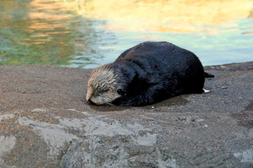 a young otter sleeps in the shade beside a tide pool
