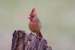 Male Northern Cardinal on a Stump