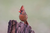 Male Northern Cardinal on a Stump poster