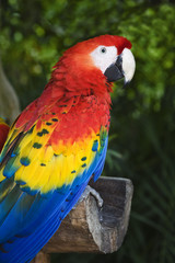 Scarlet Macaw Ara macao is found in southern Mexico,
