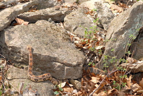 A large timber rattlesnake is crawling over rocks near it's den