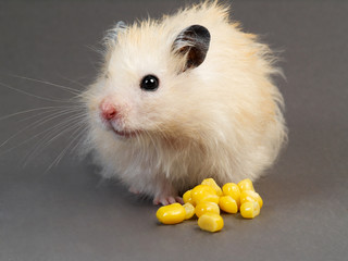 Fluffy hamster with corn on grey background