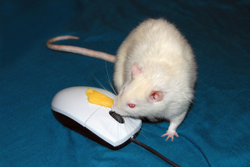 White fat rat eating with computer mouse