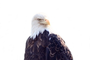 Bald Eagle with white background