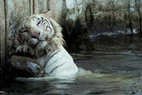 white bengal tiger scratching his back poster