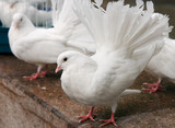 The decorative white pigeon with red paws poster