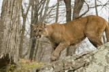 Wet and mad cougar hunting in woods.