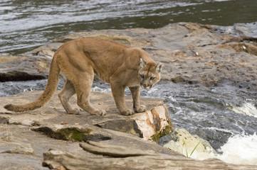 Cougar at river's edge.  Northern Minnesota
