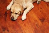 Golden retriever - sleepy dog on wooden floor poster