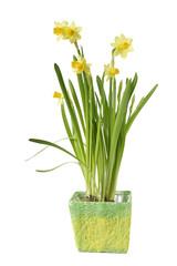 Daffodil flower in pot