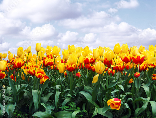 canvas print picture tulips in a field against blue sky