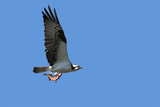 Osprey Carrying a Fish poster
