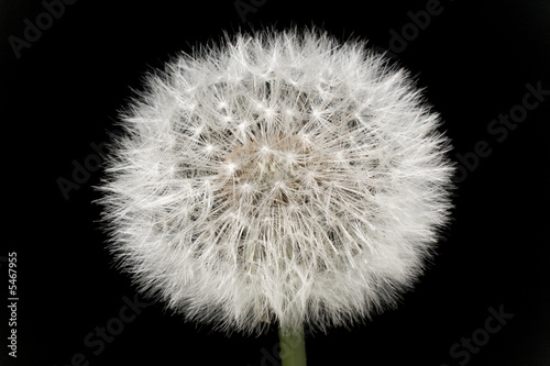 Dandelion isolated on black