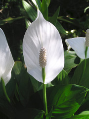 A beautiful soft white peace lily flower.