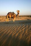 Camel safari in Thar Desert, Rajasthan, India poster