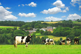 Cows grazing on a green pasture in rural Brittany, France poster