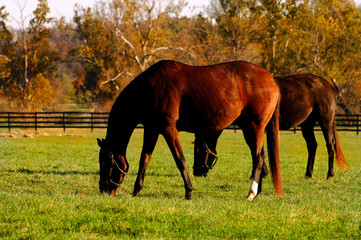Beautiful Image of horses on a farm in Kentucky