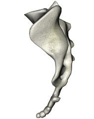 Human lateral sacrum