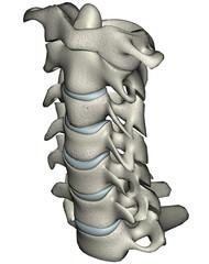 Human anterior oblique cervical spine